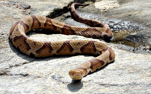 how to get rid of copperhead snakes