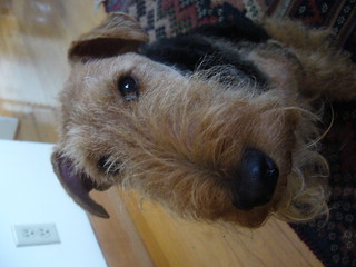 Welsh Terrier | by kafka4prez