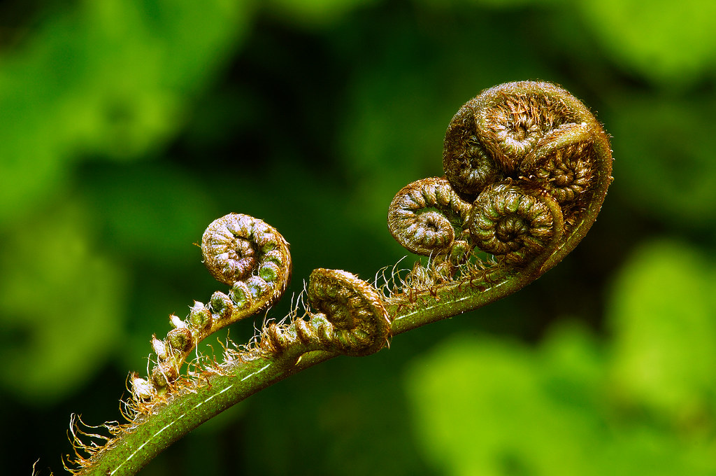 Koru New Shoots Of The New Zealand Silver Fern Plant Have Flickr