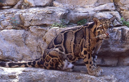 Clouded Leopard I | by Picture Taker 2