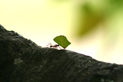 Ant at Work | by DavidDennisPhotos.com