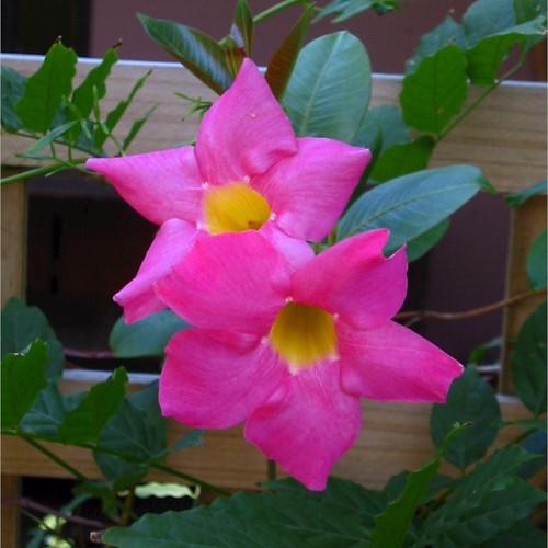 Pink Flowering Vine | A hot pink flowering vine growing on ...