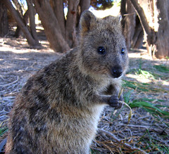Quokka! | by Thomas Rutter