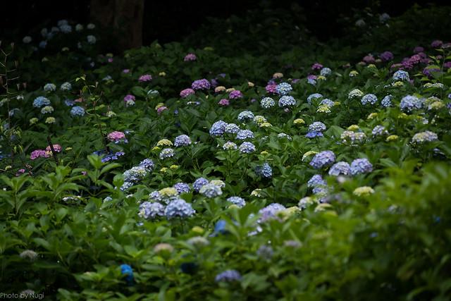 Garden of Hydrangea