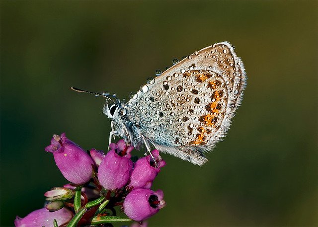 Silver-studded Blue Butterfly (Plebejus argus)