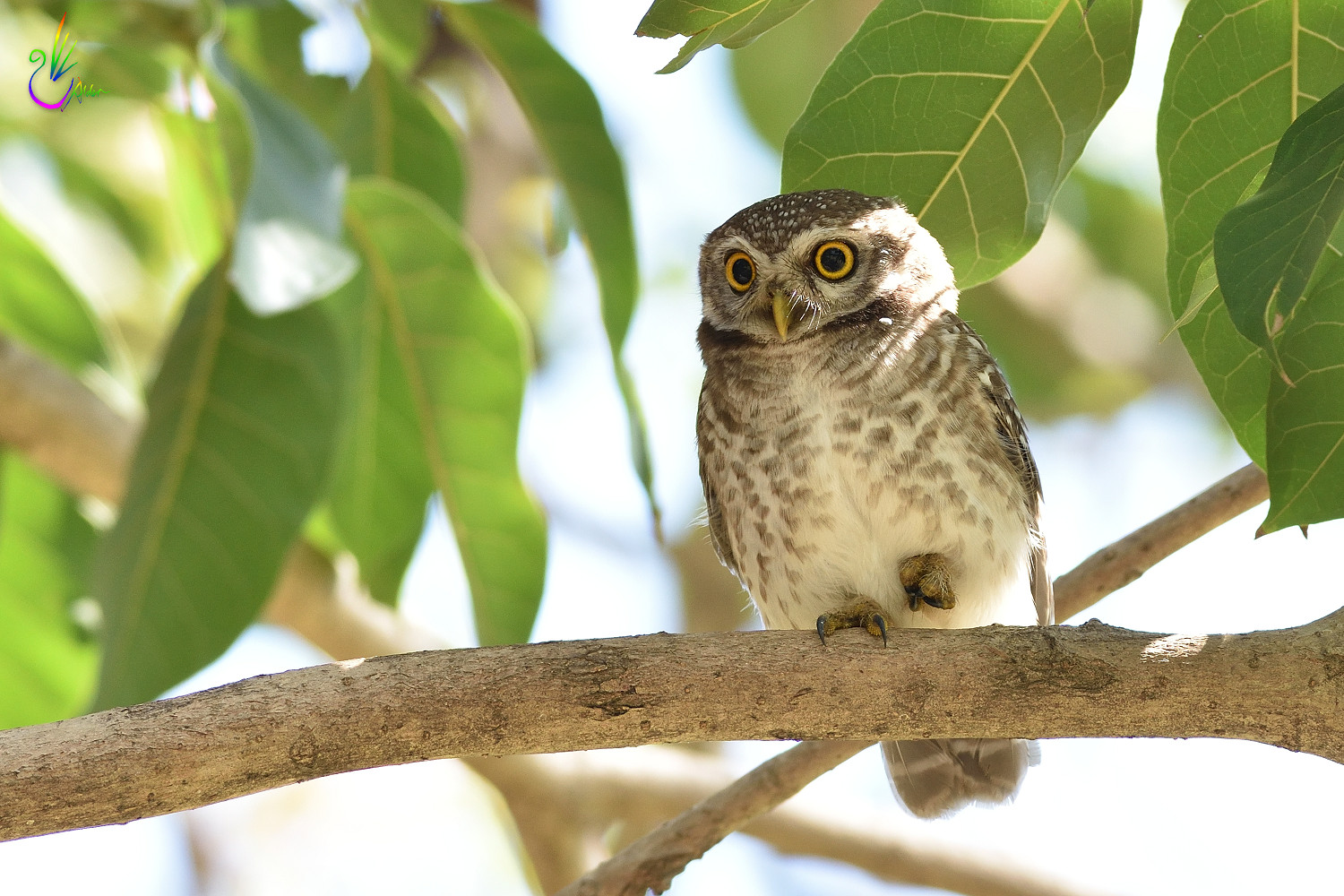 Spotted_Owlet_9173