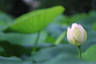 蓮の花 by photoAC
