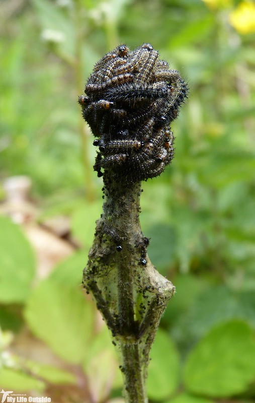 P1130277 - Peacock Caterpillar, Parc Slip