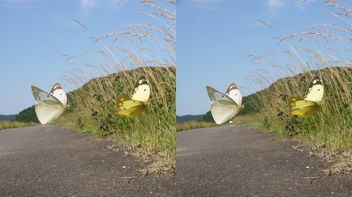 Courting flight of Colias erate, stereo parallel view