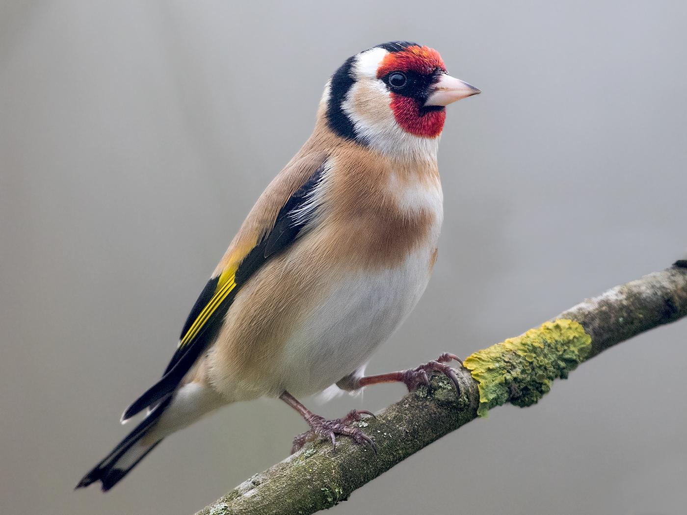 Птичка щегол картинки