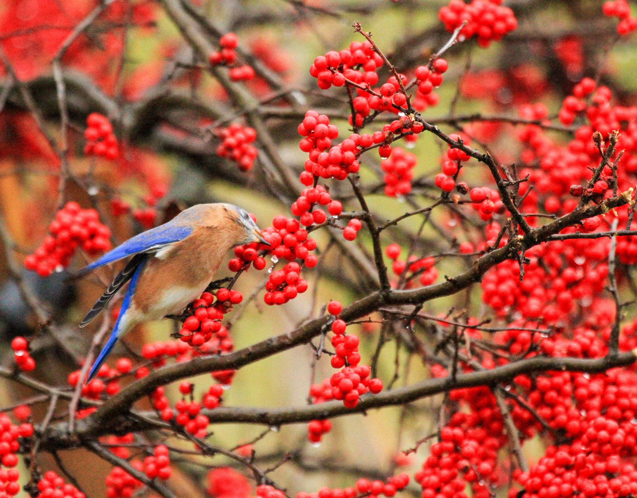 An Eastern Bluebird getting takeout