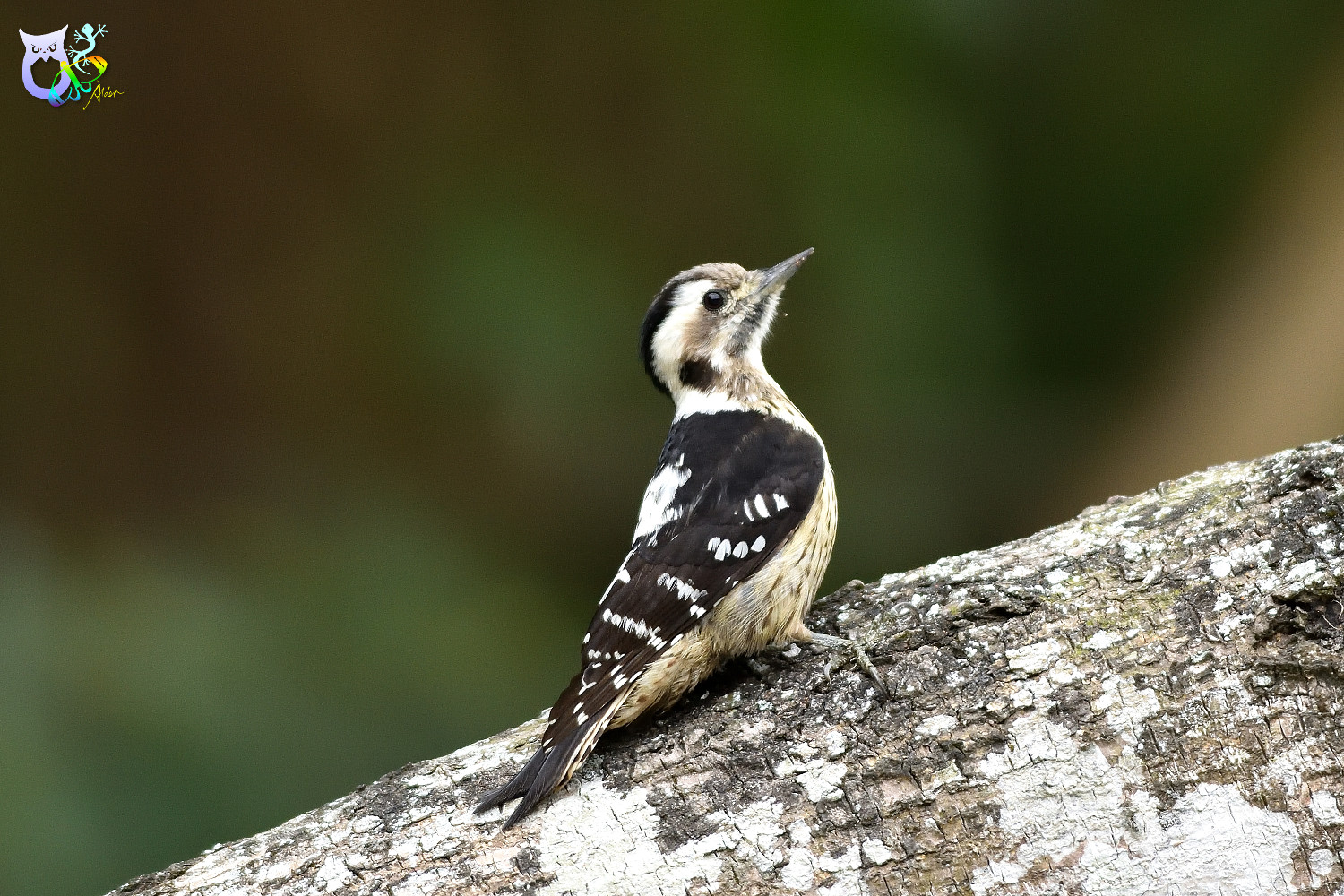 Grey-headed Pygmy Woodpecker_0253