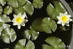 Nymphaea Moorei