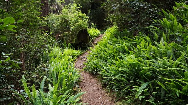 Trail through the ferns