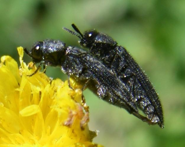 Acmaeodera crinita 19187802436_2ac57e2b45_o