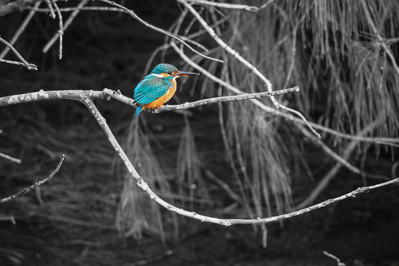 嗚嗚嗚,我終於拍到小翠了!|Kingfisher 翠鳥