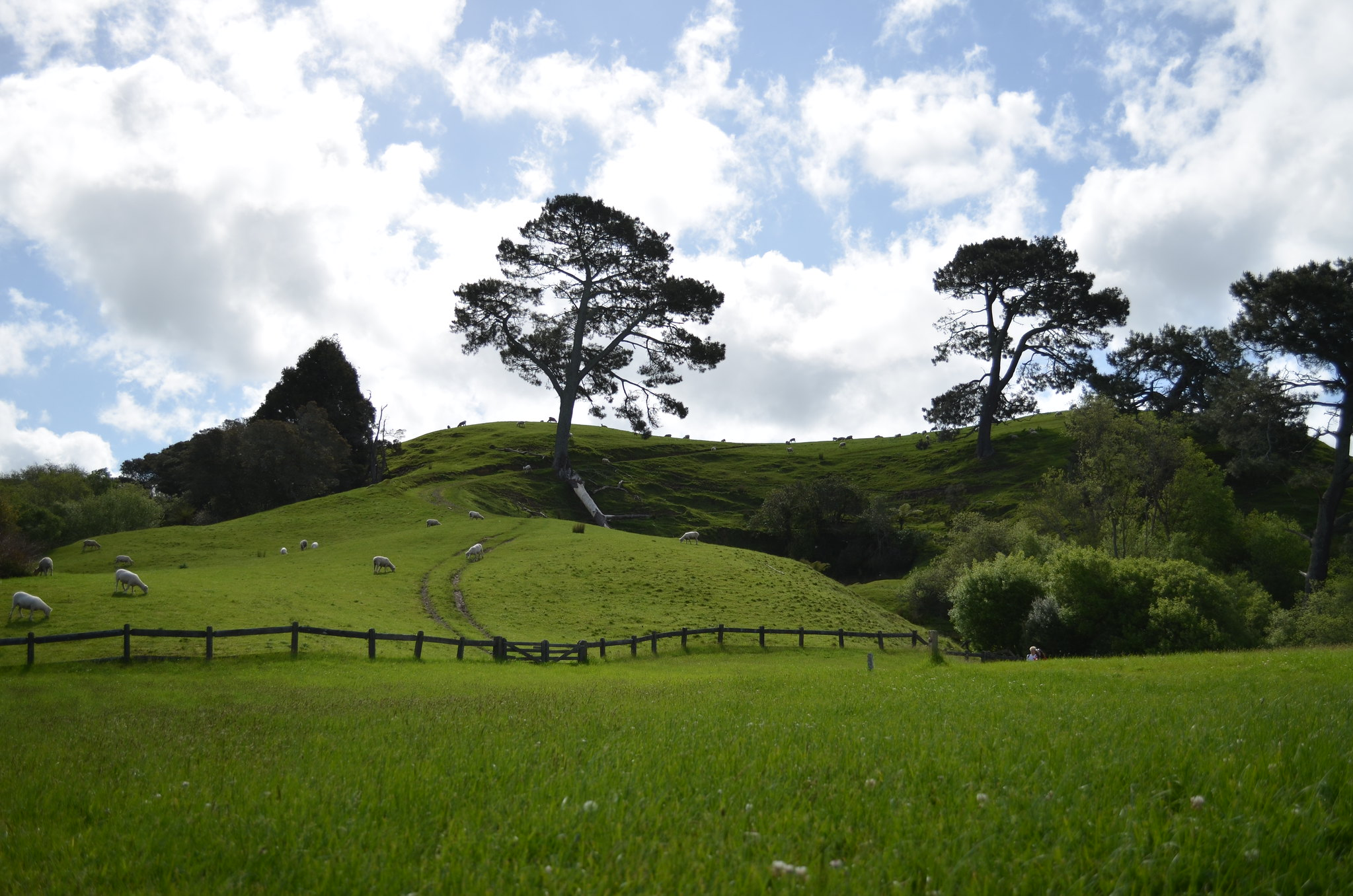 Hobbiton - sheep grazing