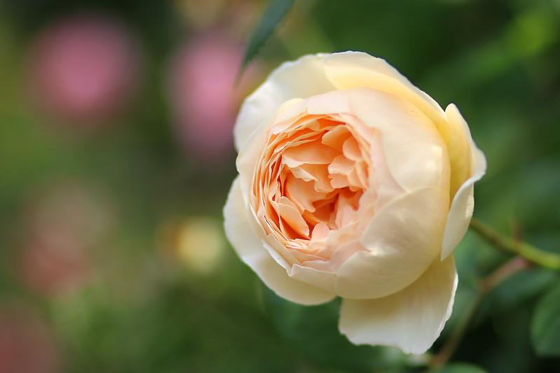 Rose: