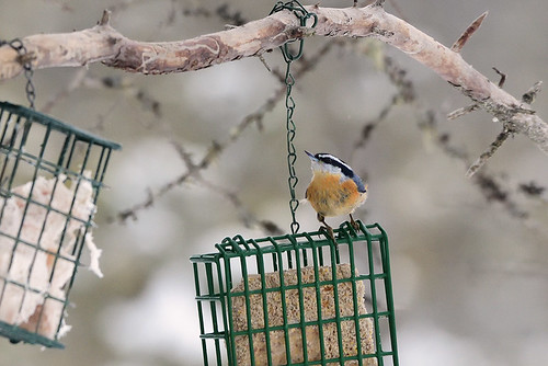 Daks, NY: Red-breasted Nuthatch at Feeder 2