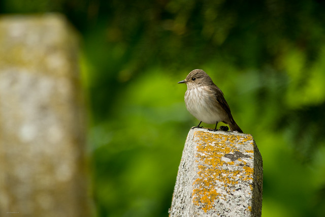 Spotted Flycatcher, Beds, 30th May 2015
