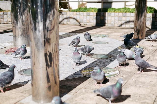 Pigeon in ikebukuro