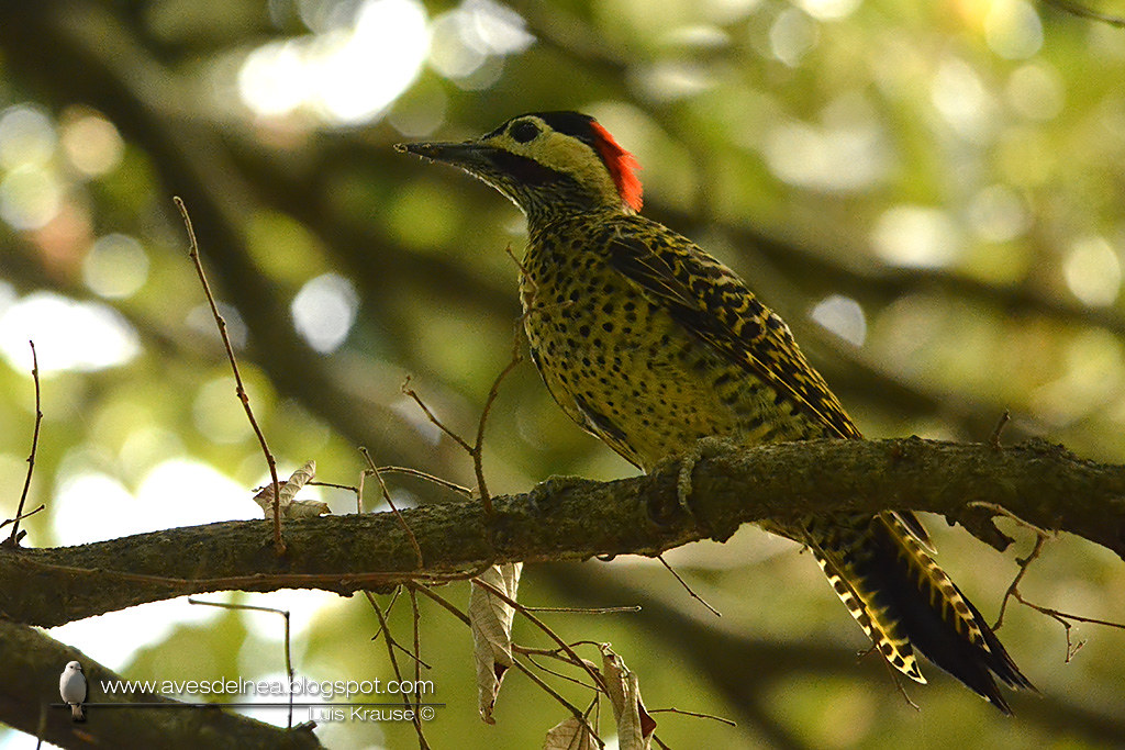 Carpintero real (Green-barred Woodpecker) Colaptes melanochloros