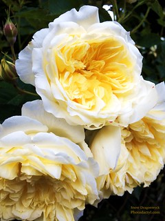 20150604 - 3 Yellow Roses