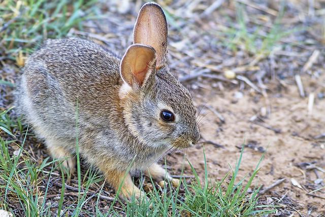 Baby Rabbit 7d_2144