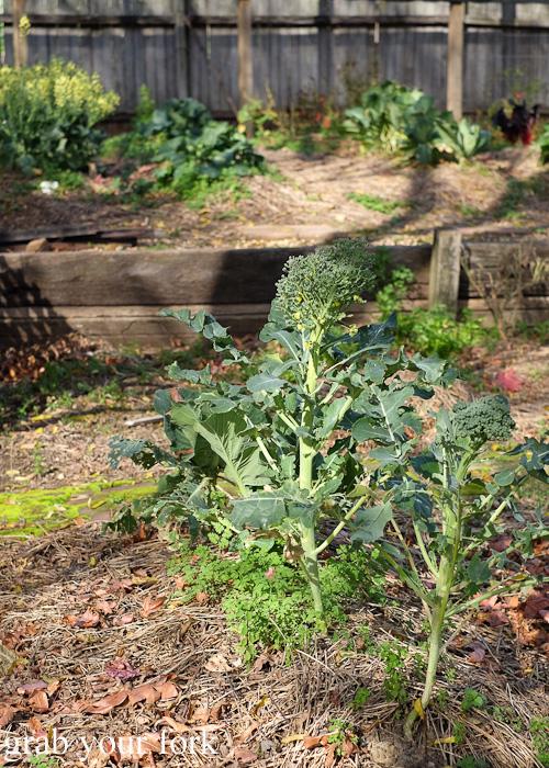 Broccolini in the garden behind Geoff Jansz Farm Table Restaurant, Mittagong