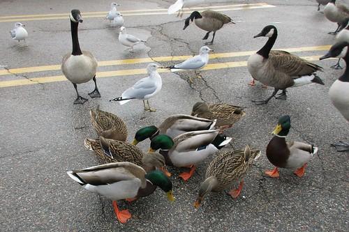 #7 Ring-billed Gull, #8 Canada Goose, #9 Mallard Duck