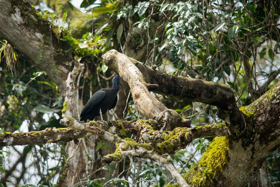 Selvaiibis, Mesembrinibis, cayennensis, Green, Ibis, Cayenne, Caño, Negro, Wildlife, Refuge, Costa Rica, Kaido Rummel