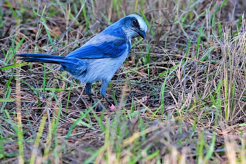 Cape Coral: Florida Scub-Jay