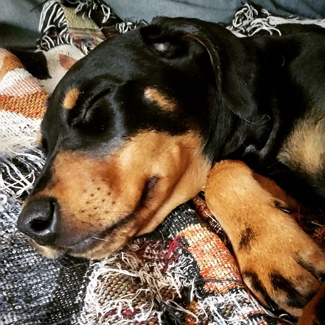 Your Penny puppy fix for the day! #sleepingpuppy #rescuedpuppiesofinstagram #dobermanmix #puppygram #instapuppy #puppylove #dobiemix #muttsofinstagram #sleepypuppy #adoptdontshop