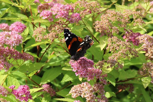 IMG_5653_Red_Admiral_Butterfly