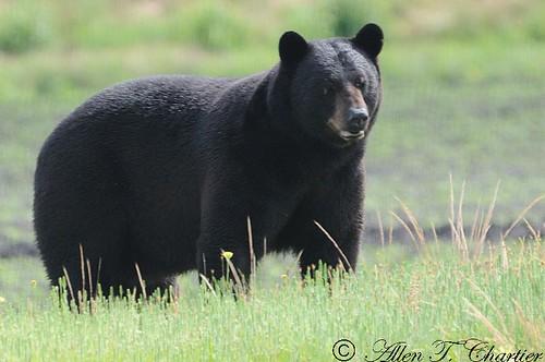Ursus americanus (American Black Bear)