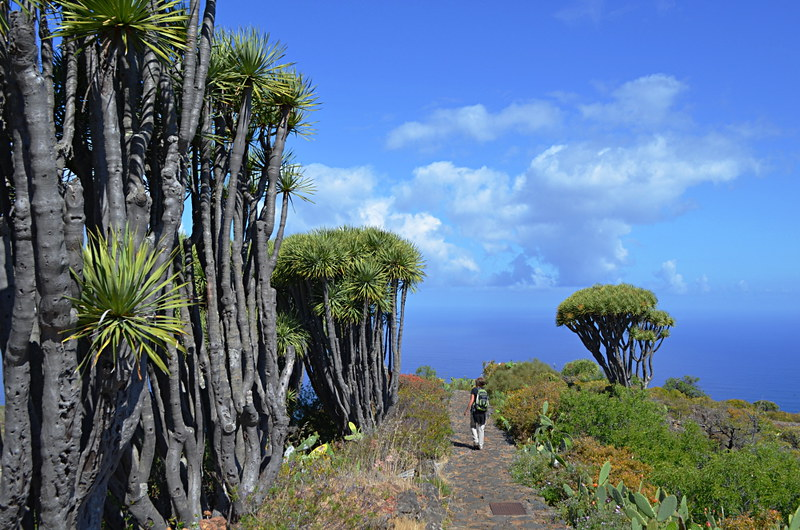 Drago tree forest, La Palma