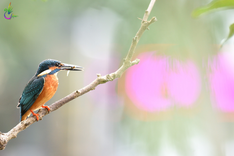 Common_Kingfisher_9402