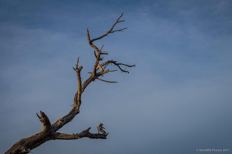 Árbol muerto en la pineda de Ca l'Arana