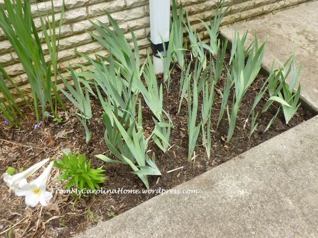 Iris replanted bed ~ From My Carolina Home