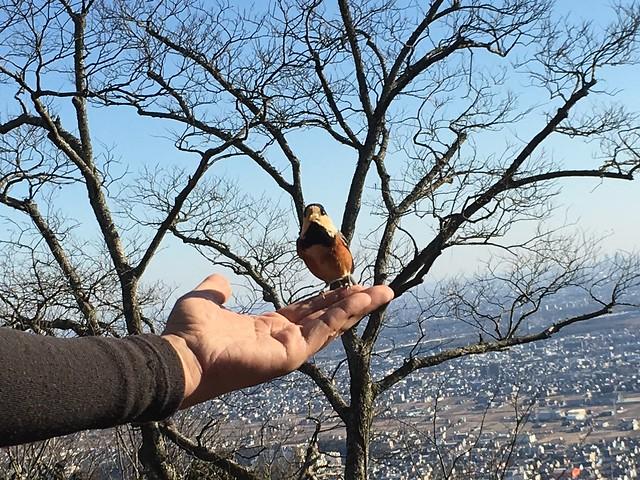 金華山 岐阜城前展望テラス ヤマガラ いち