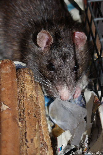 Rattie MJ enjoys her ice cube.