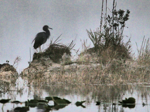 Little Blue Heron in fog before sunrise 01-20170206