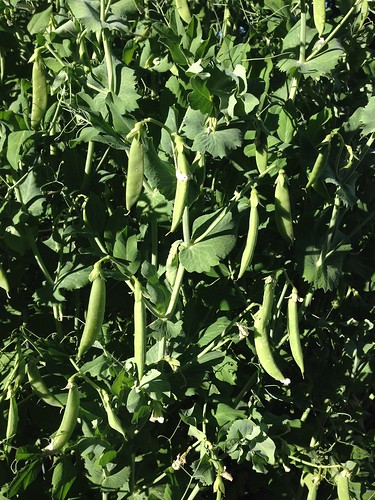 A plethora of peas