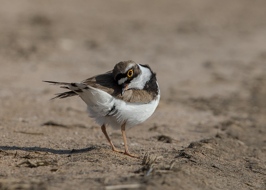 Little Ringed Plover   Bulgaria