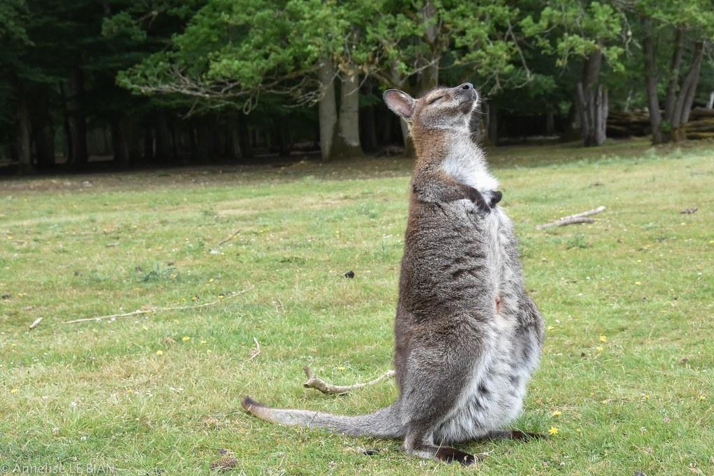 Wallaby dans le parc de sauvage emanc pr s de rambo for Parc sauvage 78