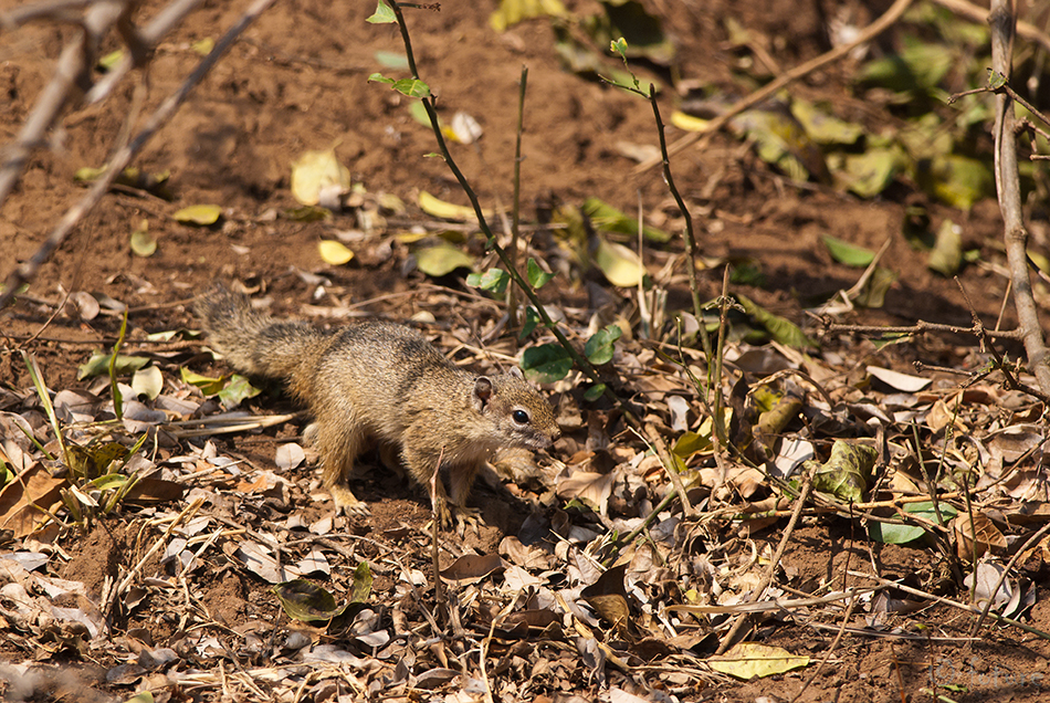 Võsaorav, Paraxerus, cepapi, Smith's, Bush, Squirrel, Yellow-footed, Tree, African, Kruger, National, Park, South, Africa, Kaido Rummel