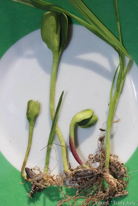 Young seedlings freshly sprouted from the food the ratties won't finish.