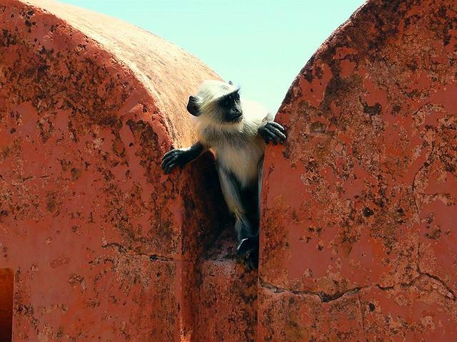 Mono en Jaipur (India)