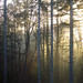 pacific northwest trees