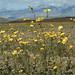 Balsomroot Blooms in the Desert